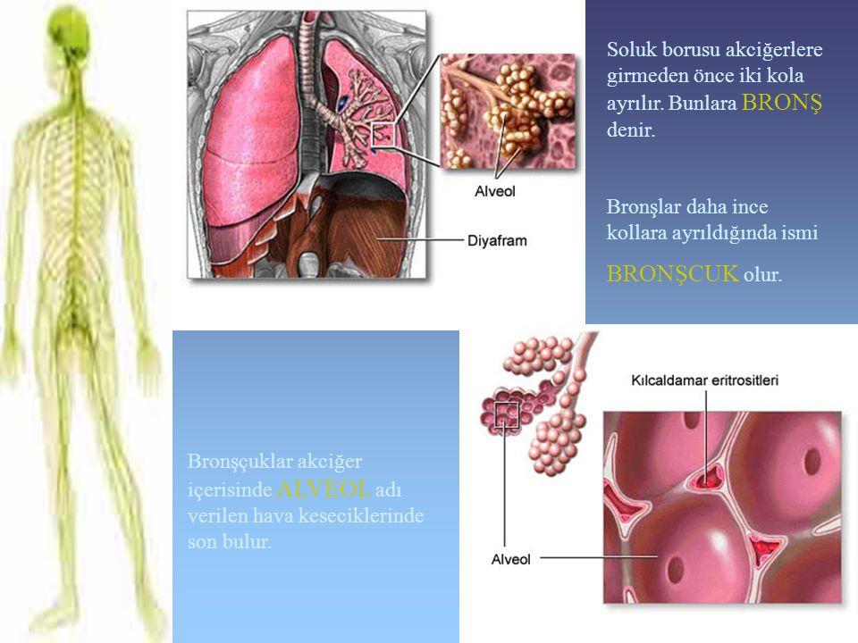 Soluk borusu akciğerlere girmeden önce iki kola ayrılır. Bunlara BRONŞ denir. Bronşlar daha ince kollara ayrıldığında ismi BRONŞCUK olur. Bronşçuklar
