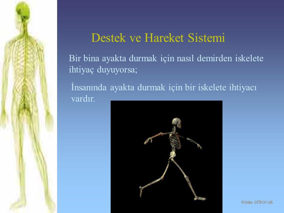 Kemiğin yapısını incelerken dışındaki zar Kemiği dış etkilerden korur.