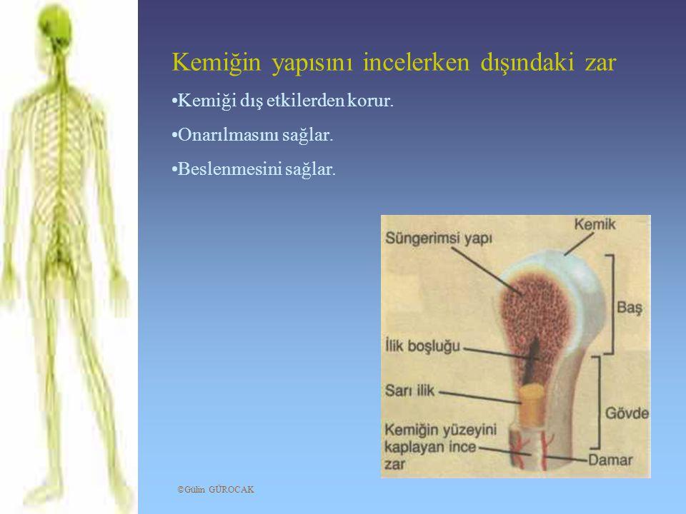 Kemiğin yapısını incelerken dışındaki zar Kemiği dış etkilerden korur. Onarılmasını sağlar. Beslenmesini sağlar. ©Gülin GÜROCAK