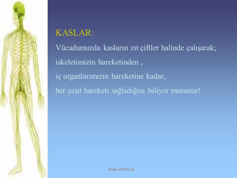 KASLAR: Vücudumuzda kasların zıt çiftler halinde çalışarak; iskeletimizin hareketinden, iç organlarımızın hareketine kadar, her çeşit hareketi sağladı