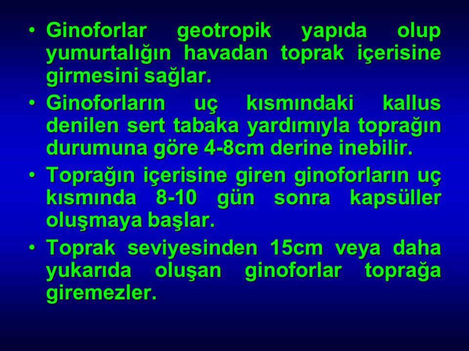 Ginoforlar geotropik yapıda olup yumurtalığın havadan toprak içerisine girmesini sağlar.Ginoforlar geotropik yapıda olup yumurtalığın havadan toprak i