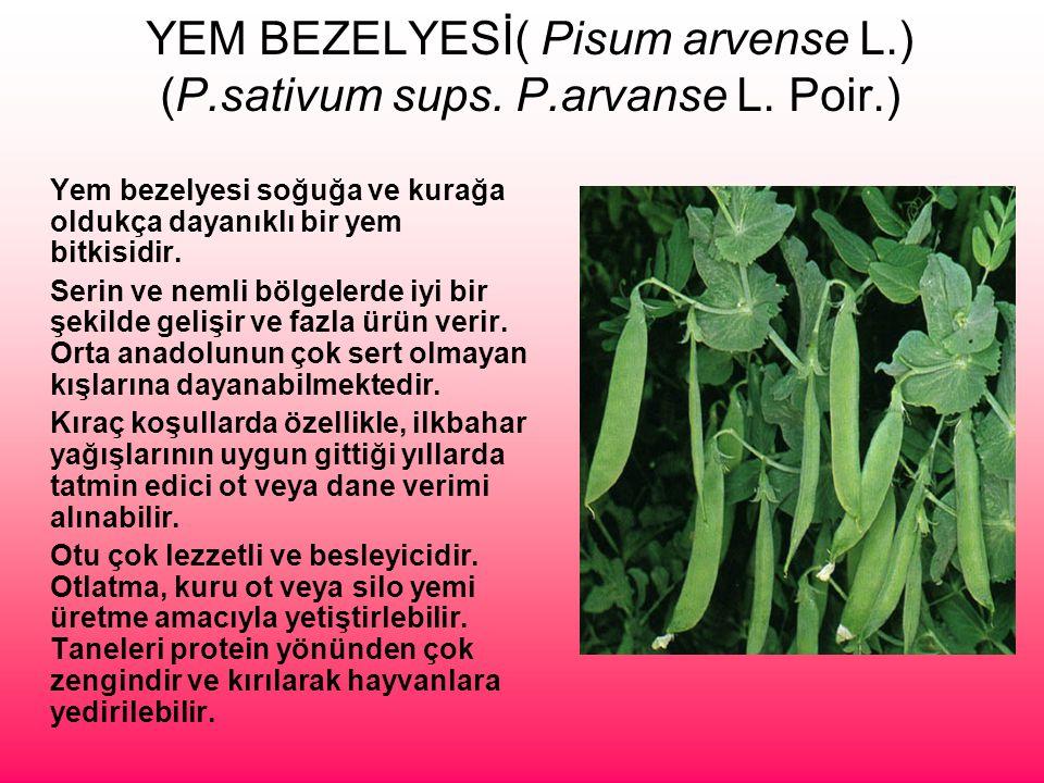 YEM BEZELYESİ( Pisum arvense L.) (P.sativum sups. P.arvanse L. Poir.) Yem bezelyesi soğuğa ve kurağa oldukça dayanıklı bir yem bitkisidir. Serin ve ne