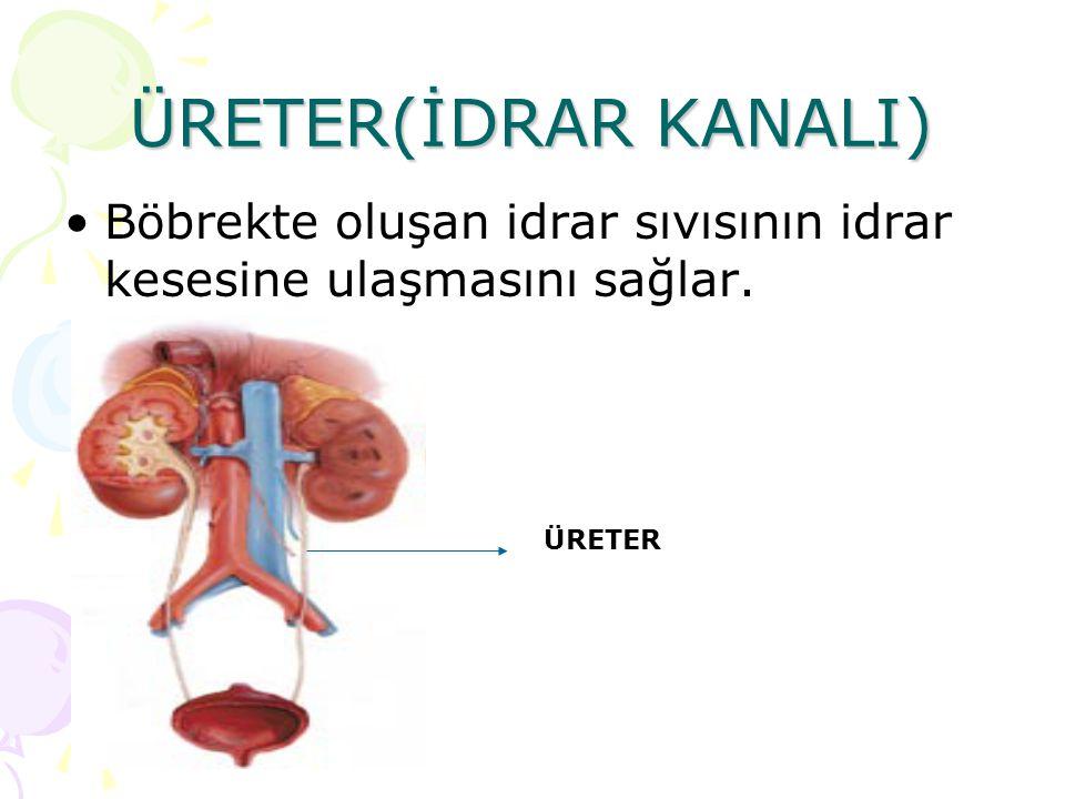 ÜRETER(İDRAR KANALI) Böbrekte oluşan idrar sıvısının idrar kesesine ulaşmasını sağlar. ÜRETER