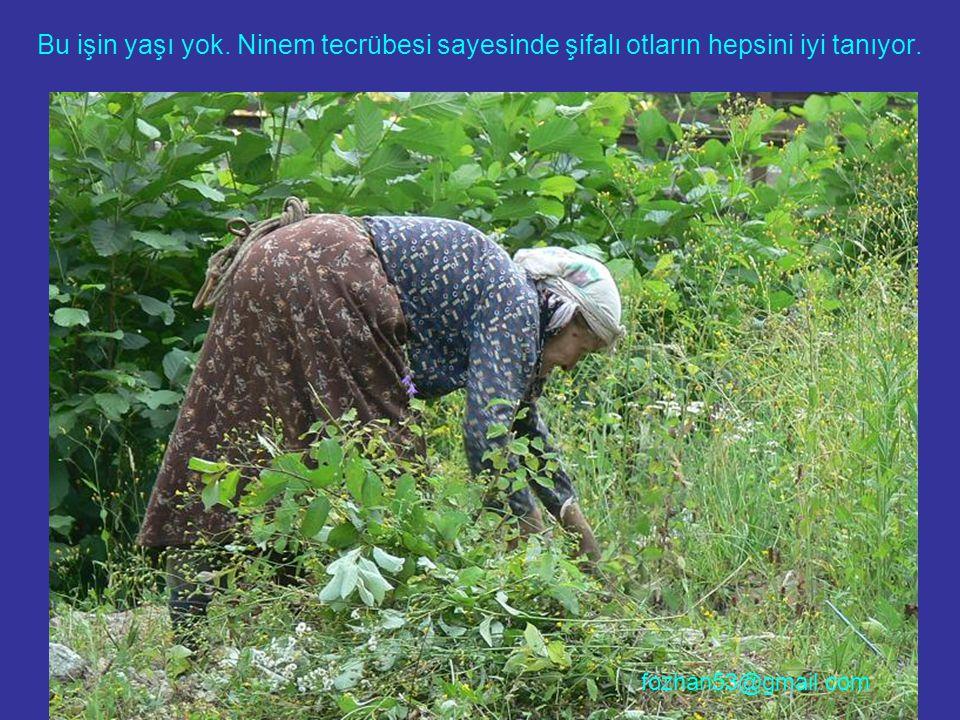 Bu işin yaşı yok. Ninem tecrübesi sayesinde şifalı otların hepsini iyi tanıyor. fozhan53@gmail.com