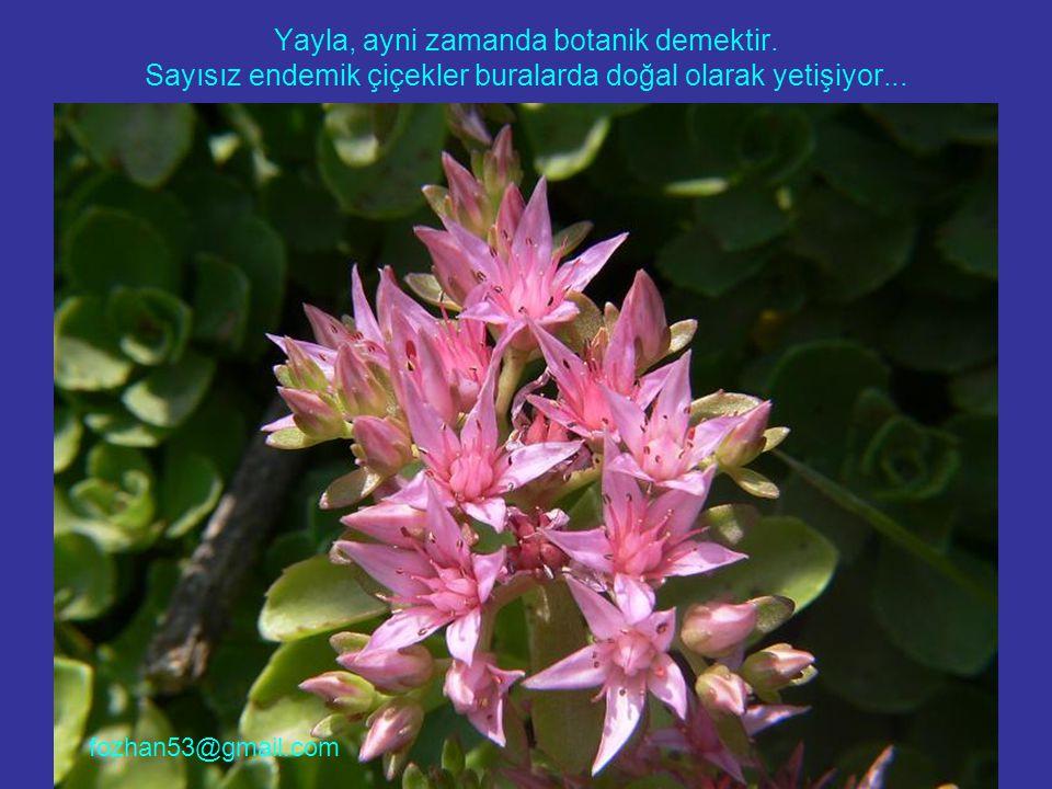 Yayla, ayni zamanda botanik demektir. Sayısız endemik çiçekler buralarda doğal olarak yetişiyor... fozhan53@gmail.com