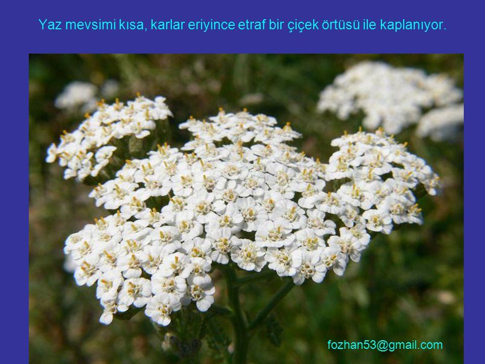 Yaz mevsimi kısa, karlar eriyince etraf bir çiçek örtüsü ile kaplanıyor. fozhan53@gmail.com