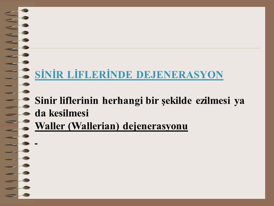 SİNİR LİFLERİNDE DEJENERASYON Sinir liflerinin herhangi bir şekilde ezilmesi ya da kesilmesi Waller (Wallerian) dejenerasyonu