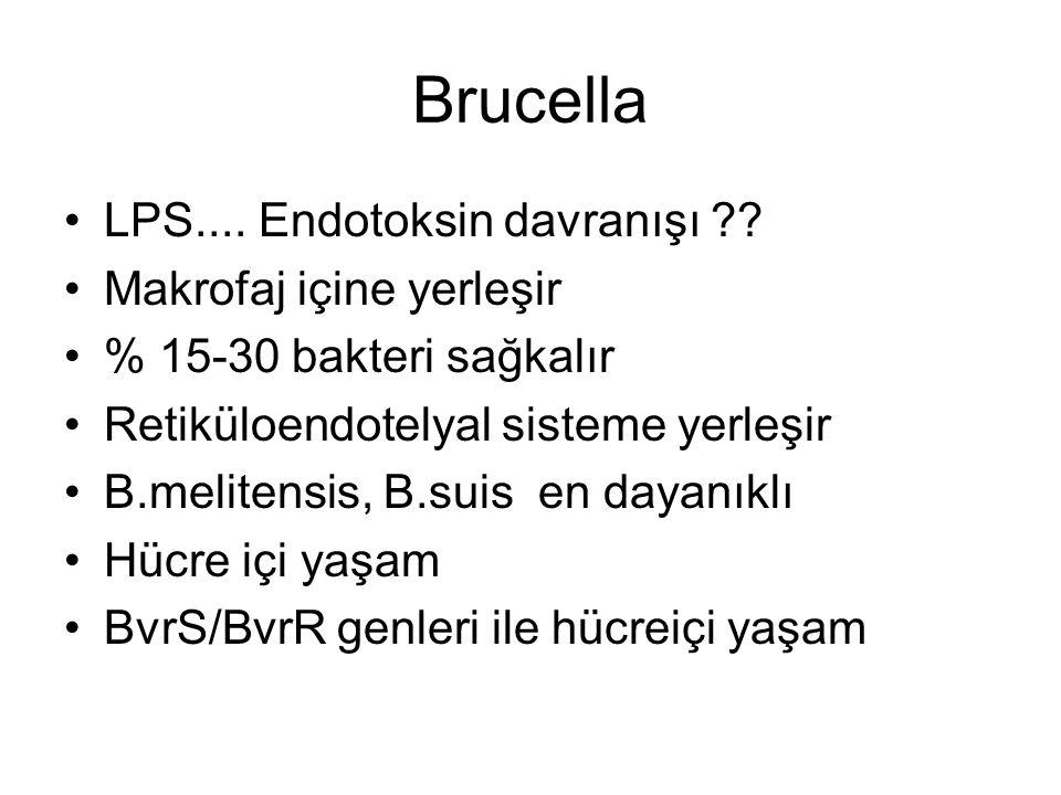 Brucella LPS.... Endotoksin davranışı ?? Makrofaj içine yerleşir % 15-30 bakteri sağkalır Retiküloendotelyal sisteme yerleşir B.melitensis, B.suis en