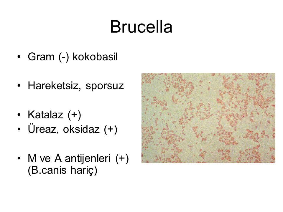 Brucella Gram (-) kokobasil Hareketsiz, sporsuz Katalaz (+) Üreaz, oksidaz (+) M ve A antijenleri (+) (B.canis hariç)