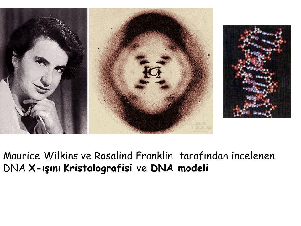 Maurice Wilkins ve Rosalind Franklin tarafından incelenen DNA X-ışını Kristalografisi ve DNA modeli