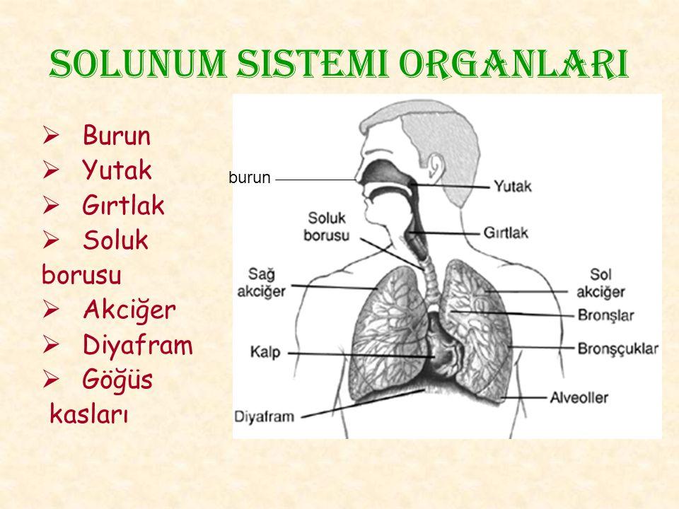 Solunum sistemi organlarI  Burun  Yutak  Gırtlak  Soluk borusu  Akciğer  Diyafram  Göğüs kasları burun