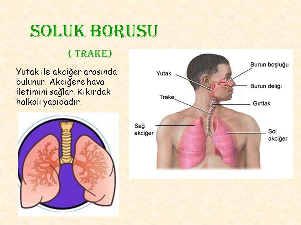 Soluk borusu ( trake) Yutak ile akciğer arasında bulunur. Akciğere hava iletimini sağlar. Kıkırdak halkalı yapıdadır.