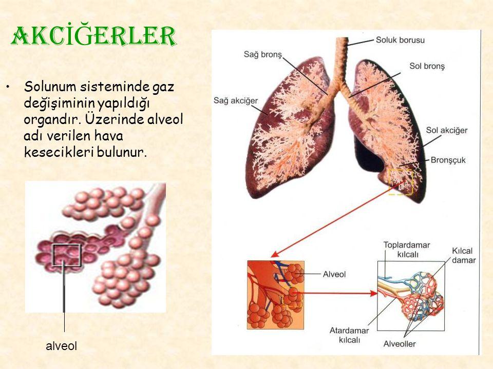 akc İĞ erler Solunum sisteminde gaz değişiminin yapıldığı organdır. Üzerinde alveol adı verilen hava kesecikleri bulunur. alveol