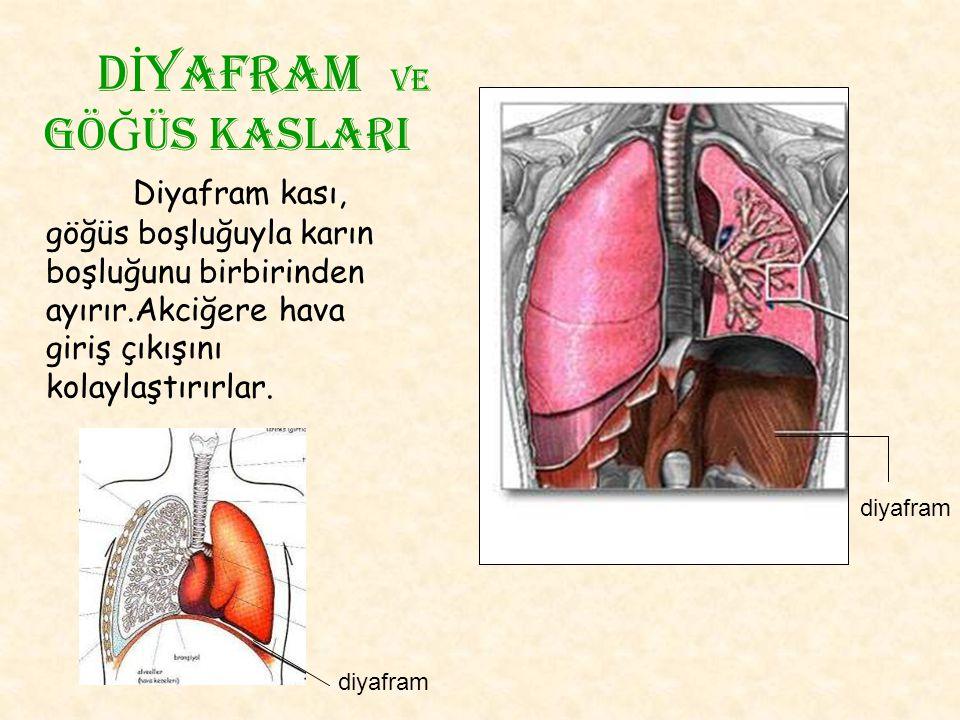 Diyafram kası, göğüs boşluğuyla karın boşluğunu birbirinden ayırır.Akciğere hava giriş çıkışını kolaylaştırırlar. d İ yafram Ve gö Ğ üs kaslarI diyafr