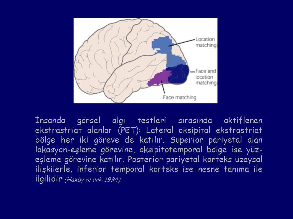 İnsanda görsel algı testleri sırasında aktiflenen ekstrastriat alanlar (PET): Lateral oksipital ekstrastriat bölge her iki göreve de katılır. Superior