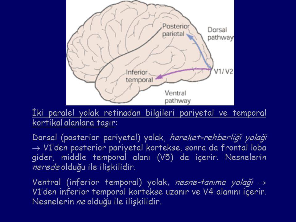 İki paralel yolak retinadan bilgileri pariyetal ve temporal kortikal alanlara taşır: Dorsal (posterior pariyetal) yolak, hareket-rehberliği yolağı  V