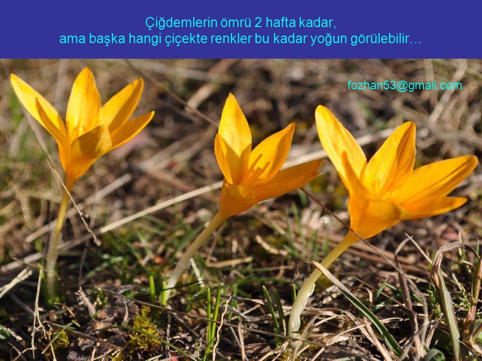 Çiğdemlerin ömrü 2 hafta kadar, ama başka hangi çiçekte renkler bu kadar yoğun görülebilir… fozhan53@gmail.com
