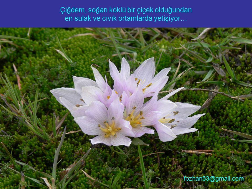 Çiğdem, soğan köklü bir çiçek olduğundan en sulak ve cıvık ortamlarda yetişiyor… fozhan53@gmail.com