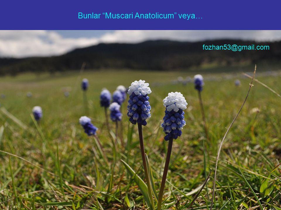 "Bunlar ""Muscari Anatolicum"" veya… fozhan53@gmail.com"