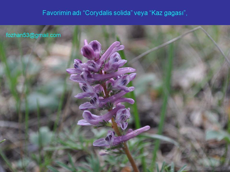 "Favorimin adı ""Corydalis solida"" veya ""Kaz gagası"", fozhan53@gmail.com"