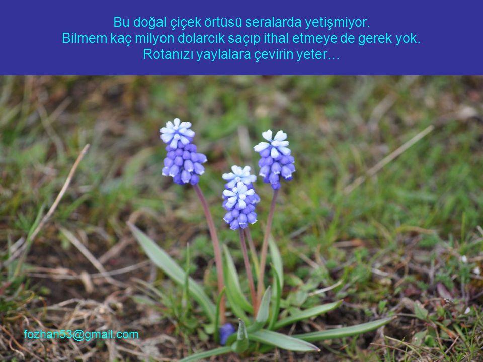 Bu doğal çiçek örtüsü seralarda yetişmiyor.