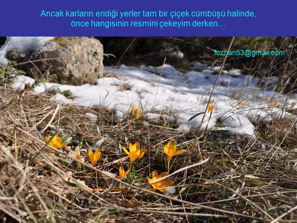 Ancak karların eridiği yerler tam bir çiçek cümbüşü halinde, önce hangisinin resmini çekeyim derken… fozhan53@gmail.com