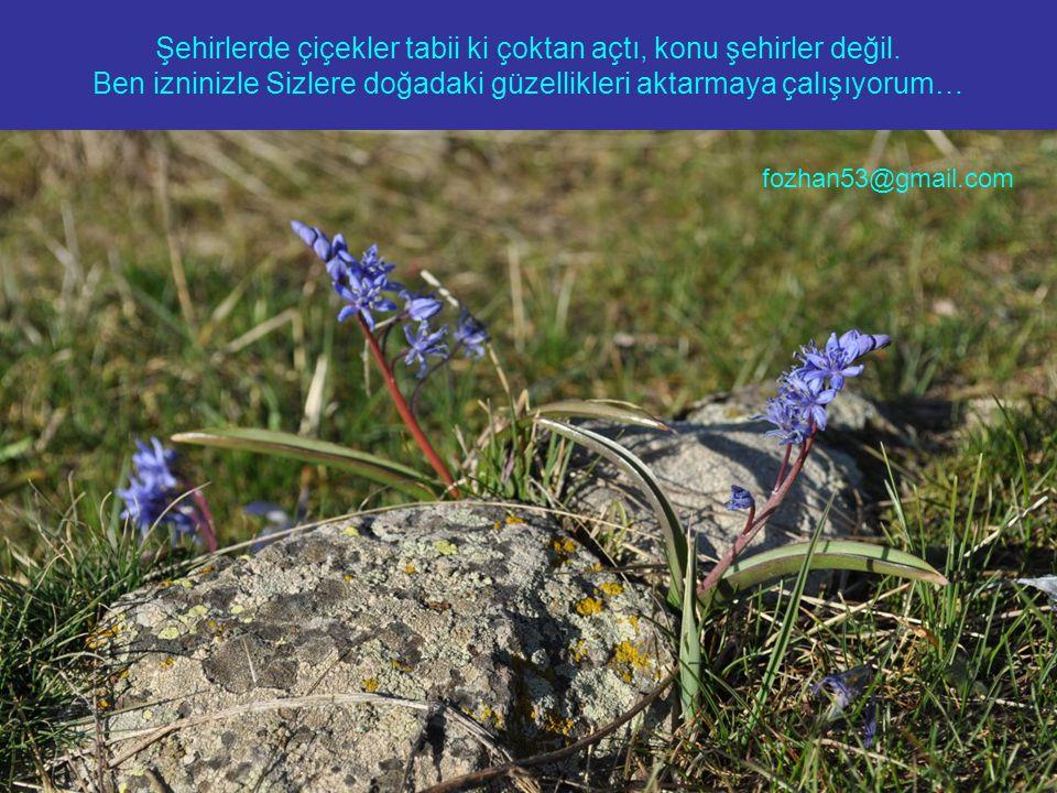 Şehirlerde çiçekler tabii ki çoktan açtı, konu şehirler değil. Ben izninizle Sizlere doğadaki güzellikleri aktarmaya çalışıyorum… fozhan53@gmail.com