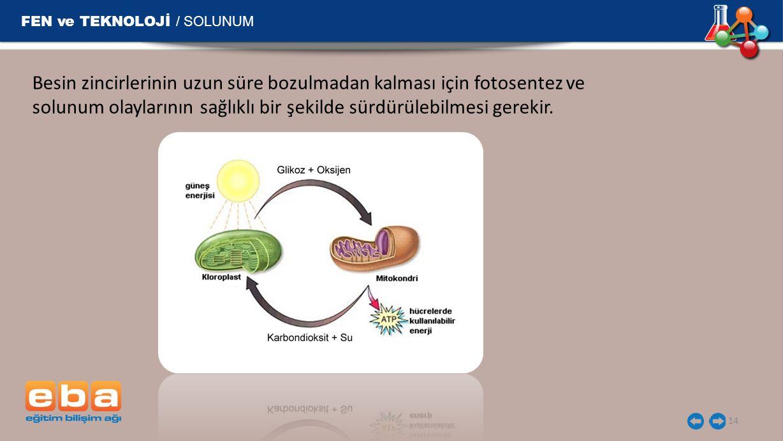 FEN ve TEKNOLOJİ / SOLUNUM 14 Besin zincirlerinin uzun süre bozulmadan kalması için fotosentez ve solunum olaylarının sağlıklı bir şekilde sürdürülebilmesi gerekir.