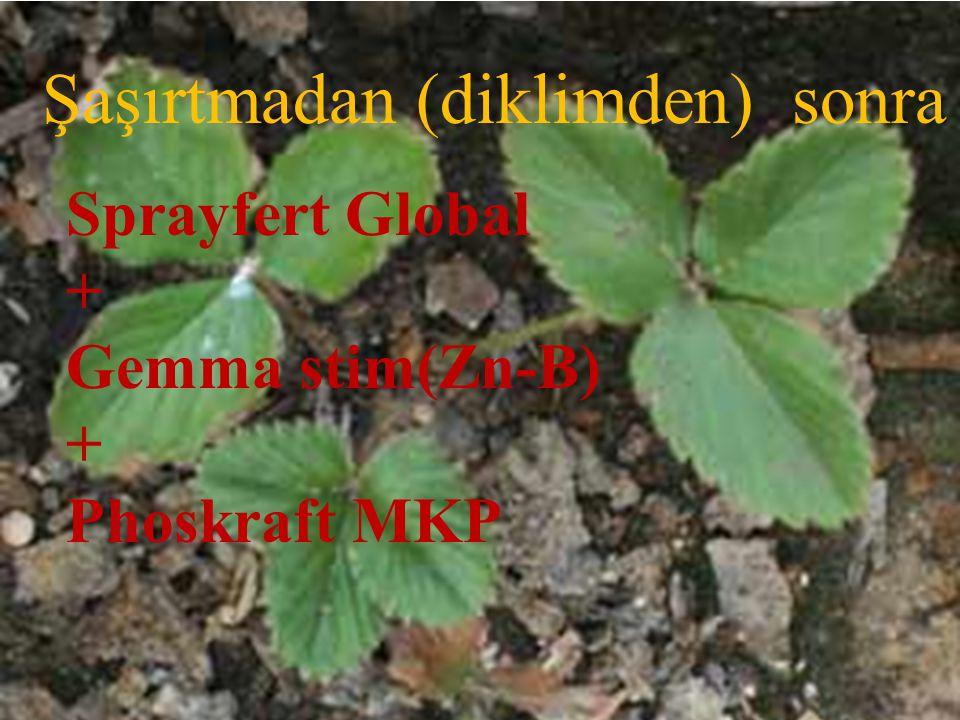 Şaşırtmadan (diklimden) sonra Sprayfert Global + Gemma stim(Zn-B) + Phoskraft MKP