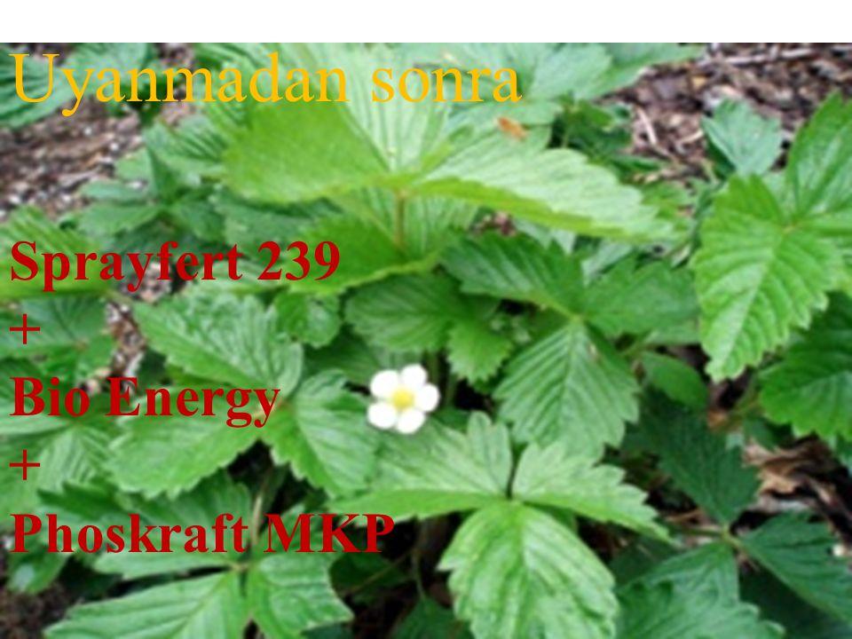 Sprayfert 239 + Bio Energy + Phoskraft MKP Uyanmadan sonra