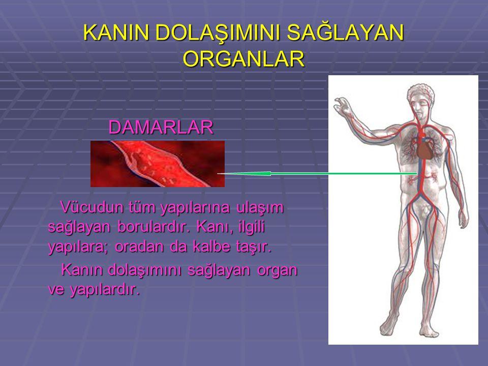 KANIN DOLAŞIMINI SAĞLAYAN ORGANLAR DAMARLAR DAMARLAR Vücudun tüm yapılarına ulaşım sağlayan borulardır.