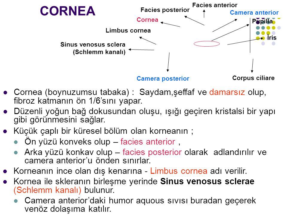 CORNEA Cornea (boynuzumsu tabaka) : Saydam,şeffaf ve damarsız olup, fibroz katmanın ön 1/6'sını yapar. Düzenli yoğun bağ dokusundan oluşu, ışığı geçir