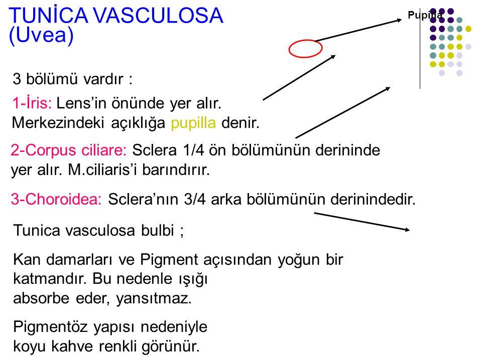TUNİCA VASCULOSA (Uvea) 3-Choroidea: Sclera'nın 3/4 arka bölümünün derinindedir. 2-Corpus ciliare: Sclera 1/4 ön bölümünün derininde yer alır. M.cilia