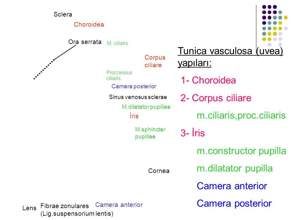 Tunica vasculosa (uvea) yapıları: 1- Choroidea 2- Corpus ciliare m.ciliaris,proc.ciliaris 3- İris m.constructor pupilla m.dilatator pupilla Camera ant