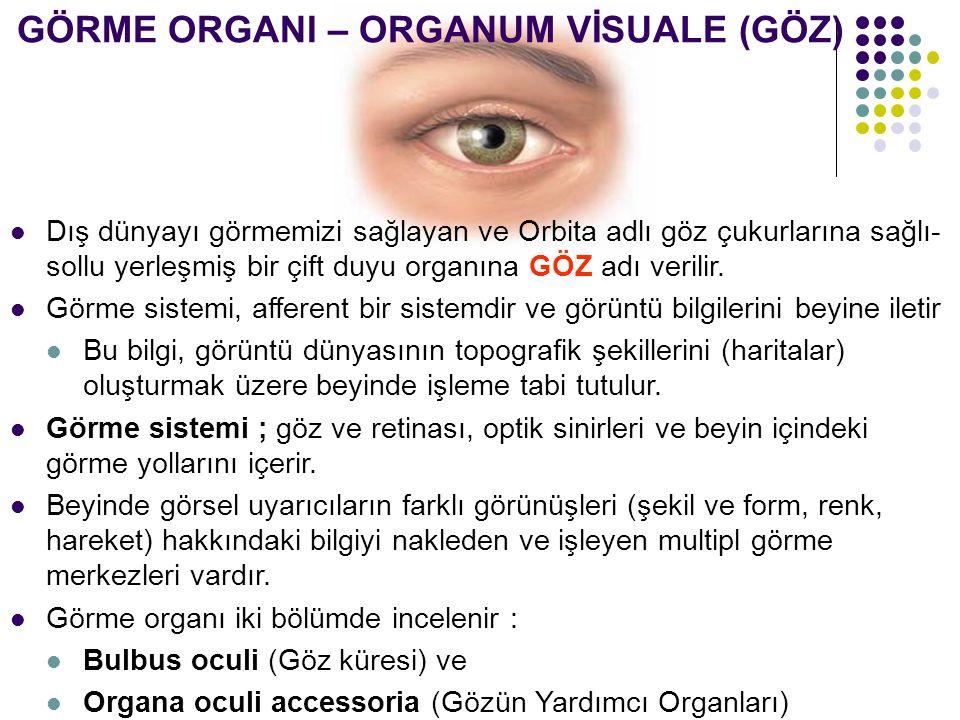 GÖRME ORGANI – ORGANUM VİSUALE (GÖZ) Dış dünyayı görmemizi sağlayan ve Orbita adlı göz çukurlarına sağlı- sollu yerleşmiş bir çift duyu organına GÖZ a