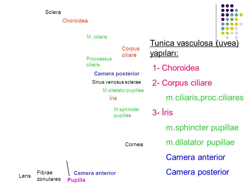 Tunica vasculosa (uvea) yapıları: 1- Choroidea 2- Corpus ciliare m.ciliaris,proc.ciliares 3- İris m.sphincter pupillae m.dilatator pupillae Camera ant