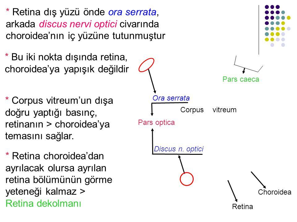 * Retina dış yüzü önde ora serrata, arkada discus nervi optici civarında choroidea'nın iç yüzüne tutunmuştur Discus n. optici Ora serrata * Retina cho