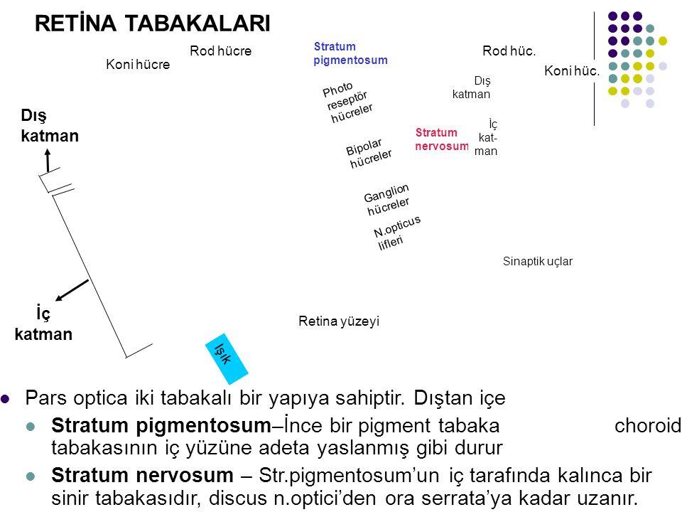 Rod hücre Koni hücre Stratum pigmentosum Stratum nervosum Dış katman İç kat- man Photo reseptör hücreler Bipolar hücreler Ganglion hücreler N.opticus