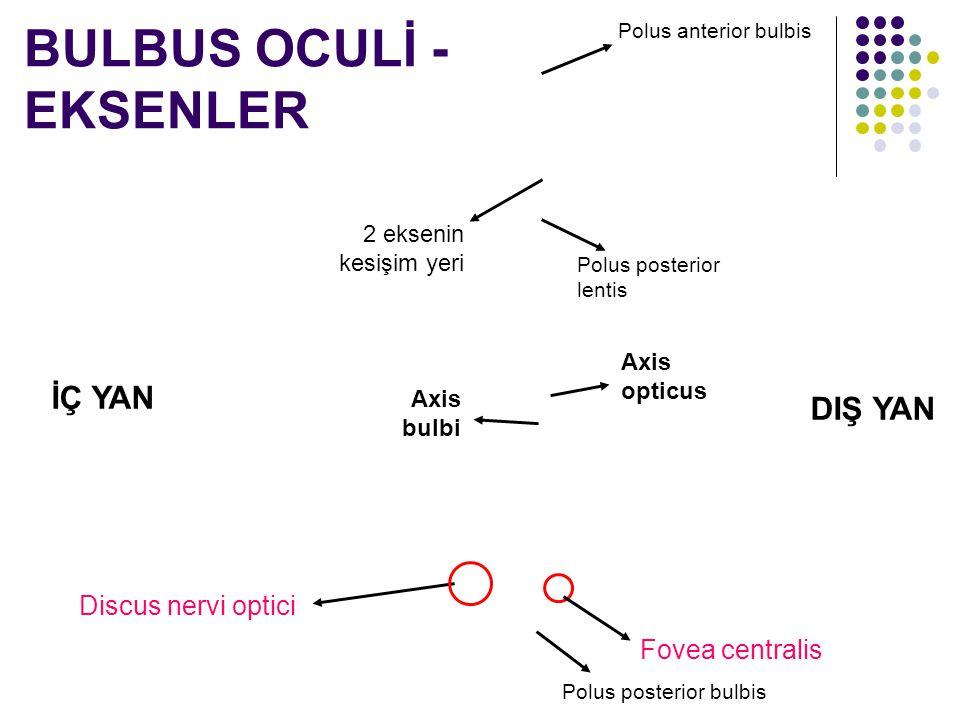 Discus nervi optici BULBUS OCULİ - EKSENLER DIŞ YAN İÇ YAN Fovea centralis Axis opticus Axis bulbi 2 eksenin kesişim yeri Polus posterior lentis Polus