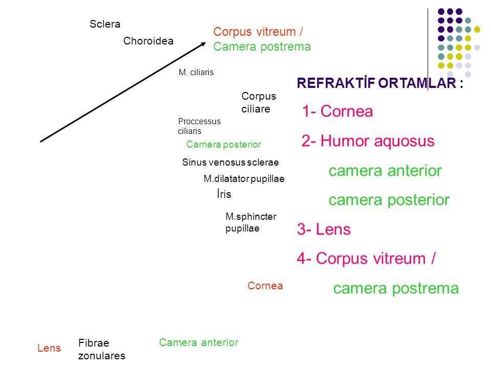 REFRAKTİF ORTAMLAR : 1- Cornea 2- Humor aquosus camera anterior camera posterior 3- Lens 4- Corpus vitreum / camera postrema Cornea Sclera Choroidea C