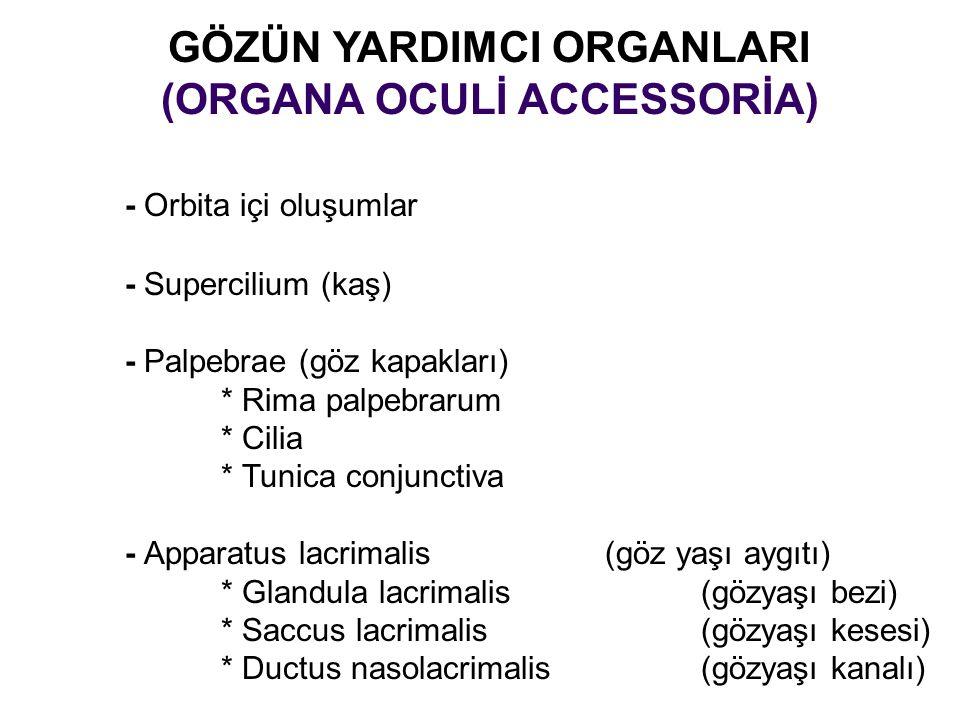 GÖZÜN YARDIMCI ORGANLARI (ORGANA OCULİ ACCESSORİA) - Orbita içi oluşumlar - Supercilium (kaş) - Palpebrae (göz kapakları) * Rima palpebrarum * Cilia *