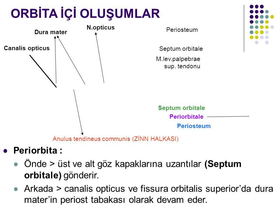 Periosteum M.lev.palpebrae sup. tendonu Septum orbitale Periosteum Septum orbitale Periorbitale Periorbita : Önde > üst ve alt göz kapaklarına uzantıl