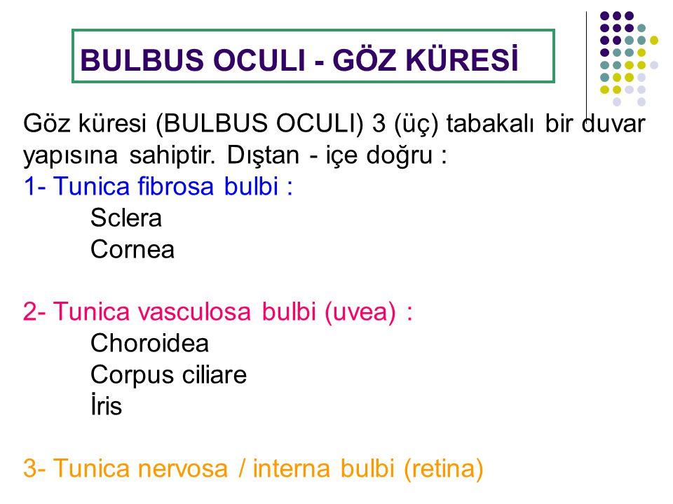 GÖZ KÜRESİNİN KATMANLARI Aa.ciliares posteriores longae A.ciliares posteriores breves Fovea centralis Discus nervi optici N.opticus 1-Tunica fibrosa- SCLERA 2-Tunica vasculosa- CHOROİDEA 3-Tunica nervosa- RETİNA 1-Tunica fibrosa CORNEA 2-Tunica vasculosa- CORPUS CİLİARE Ora serrata LENS Sinus venosus sclerae Aa.ciliares anteriores Camera vitrea (postrema) Camera anterior Camera posterior 2-Tunica vasculosa- İRİS