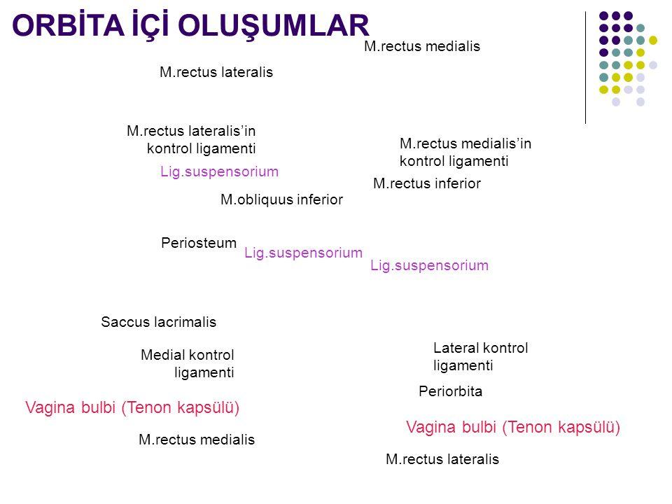 M.rectus medialis M.rectus lateralis M.rectus medialis'in kontrol ligamenti M.rectus lateralis'in kontrol ligamenti Lig.suspensorium M.rectus inferior