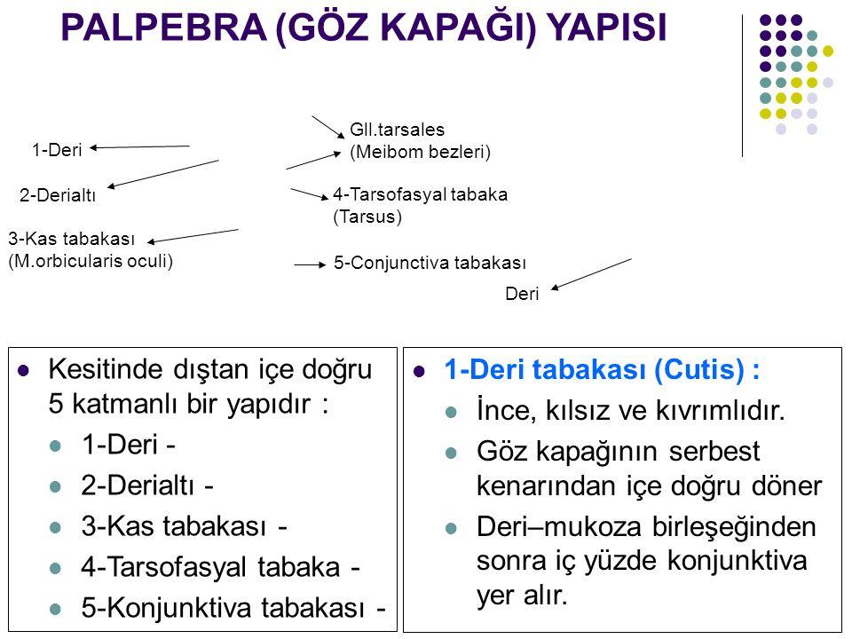 PALPEBRA (GÖZ KAPAĞI) YAPISI Kesitinde dıştan içe doğru 5 katmanlı bir yapıdır : 1-Deri - 2-Derialtı - 3-Kas tabakası - 4-Tarsofasyal tabaka - 5-Konju
