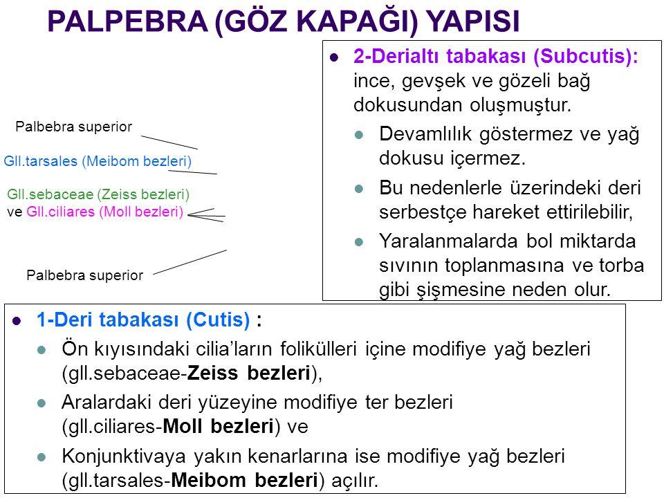 PALPEBRA (GÖZ KAPAĞI) YAPISI Palbebra superior Gll.tarsales (Meibom bezleri) Gll.sebaceae (Zeiss bezleri) ve Gll.ciliares (Moll bezleri) Palbebra supe