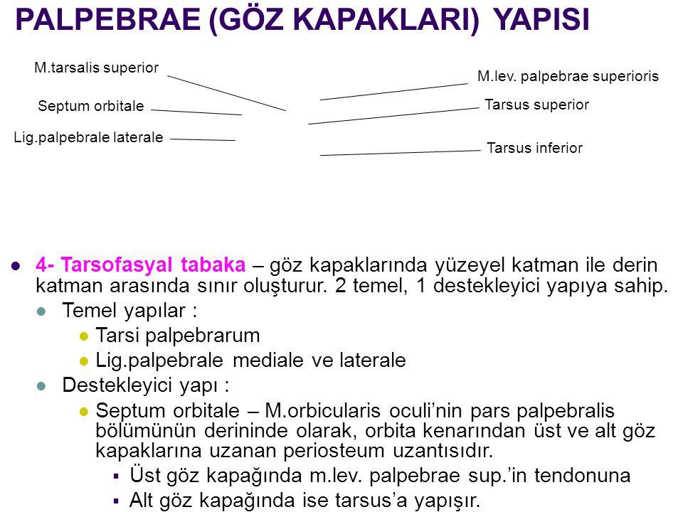 PALPEBRAE (GÖZ KAPAKLARI) YAPISI 4- Tarsofasyal tabaka – göz kapaklarında yüzeyel katman ile derin katman arasında sınır oluşturur. 2 temel, 1 destekl