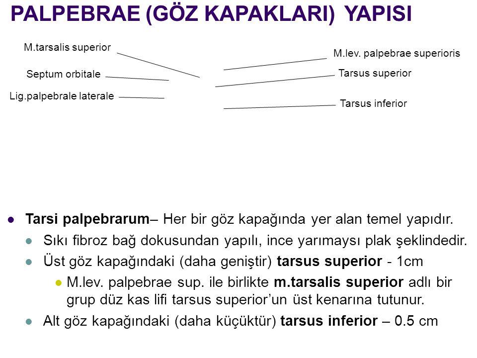 PALPEBRAE (GÖZ KAPAKLARI) YAPISI Tarsi palpebrarum– Her bir göz kapağında yer alan temel yapıdır. Sıkı fibroz bağ dokusundan yapılı, ince yarımaysı pl
