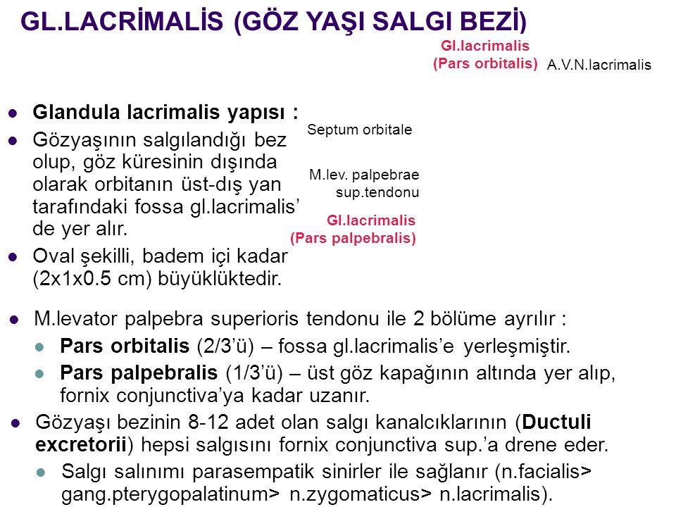 GL.LACRİMALİS (GÖZ YAŞI SALGI BEZİ) A.V.N.lacrimalis Gl.lacrimalis (Pars orbitalis) Septum orbitale M.lev. palpebrae sup.tendonu Gl.lacrimalis (Pars p