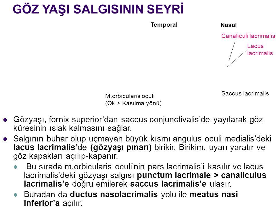 Nasal Temporal Lacus lacrimalis Saccus lacrimalis Canaliculi lacrimalis GÖZ YAŞI SALGISININ SEYRİ M.orbicularis oculi (Ok > Kasılma yönü) Gözyaşı, for